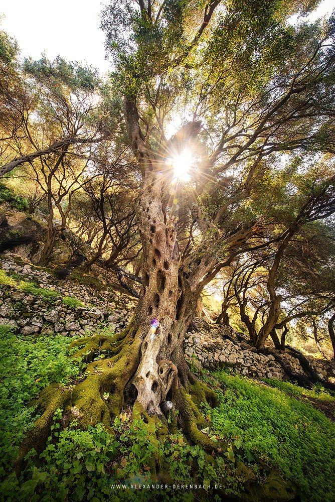 Olivenbaum I