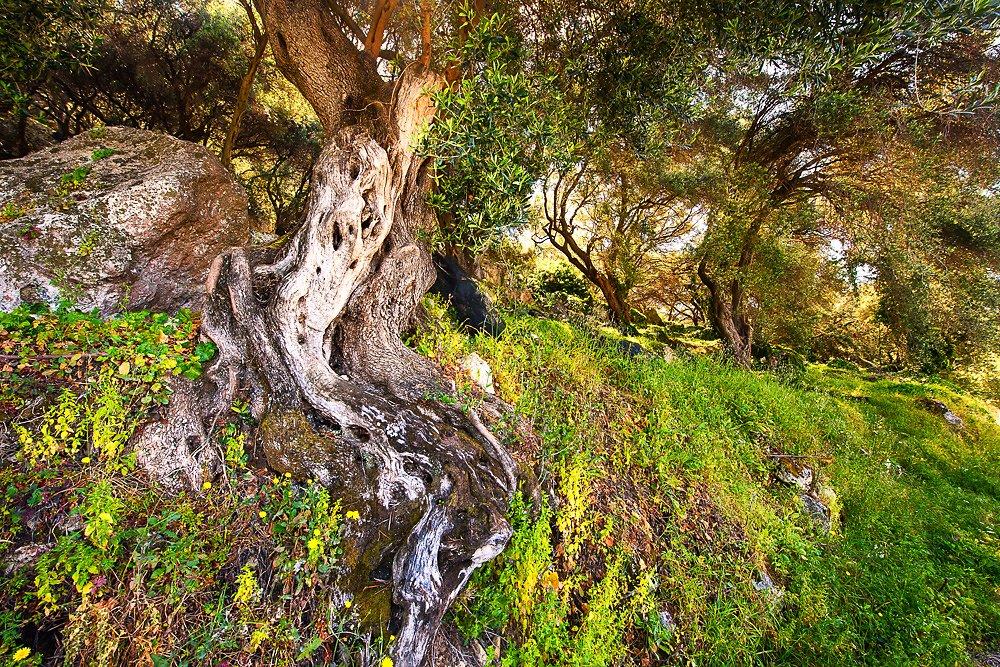 Olivenbaum V